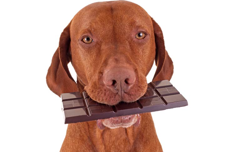 dog training puppy training chocolate bad With Easter approaching, we want to highlight the tragic consequences of feeding your dog chocolate intended for human consumption. Chocolate is highly toxic to dogs, and could be a recipe for disaster if they get their paws on it. In many homes across the country, all sorts of chocolate delights will be unwrapped this weekend and we want to make sure it's just the humans doing the unwrapping and eating of Easter egg